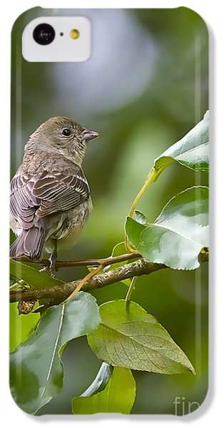 Lazuli Bunting Female 2 IPhone 5c Case by Sharon Talson
