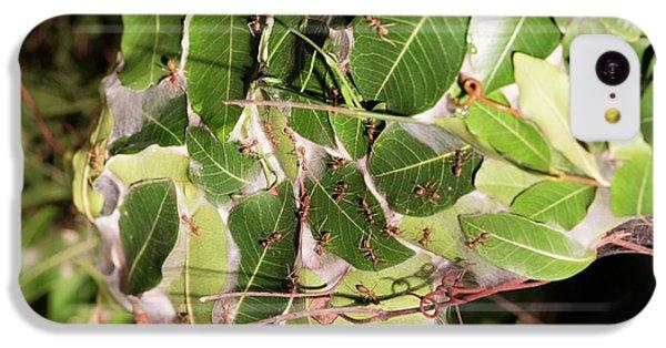 Leaf-stitching Ants Making A Nest IPhone 5c Case by Tony Camacho