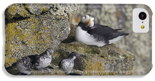 Least Auklets Perched On A Narrow Ledge IPhone 5c Case by Milo Burcham