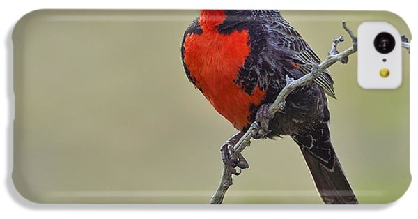 Long-tailed Meadowlark IPhone 5c Case by Tony Beck