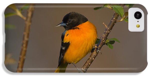 Male Northern Oriole IPhone 5c Case by Thomas and Pat Leeson