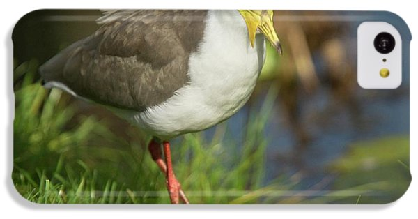 Masked Lapwing IPhone 5c Case by Bob Gibbons