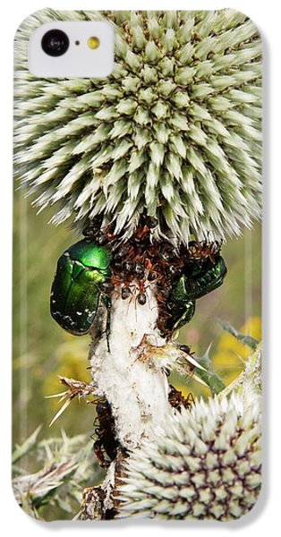 Rose Chafers And Ants On Thistle Flowers IPhone 5c Case by Bob Gibbons