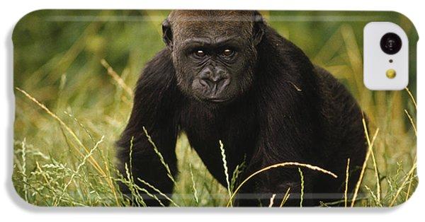 Western Lowland Gorilla Juvenile IPhone 5c Case by Gerry Ellis