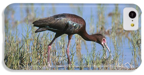 White-faced Ibis IPhone 5c Case by Anthony Mercieca