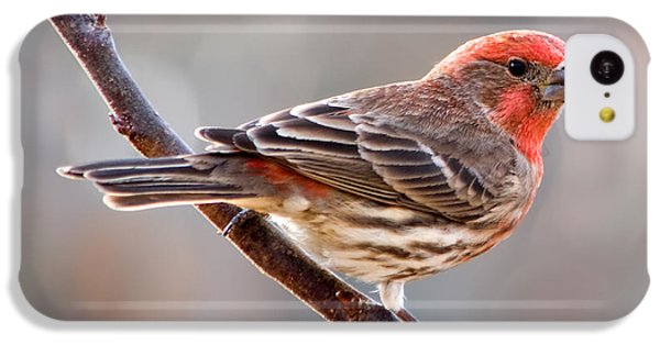 House Finch IPhone 5c Case by Betty LaRue