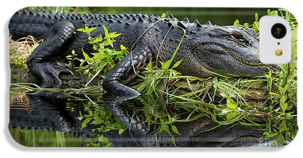 American Alligator In The Wild IPhone 5c Case by Dustin K Ryan