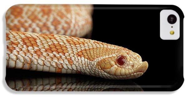 Closeup Pink Pastel Albino Western Hognose Snake, Heterodon Nasicus Isolated On Black Background IPhone 5c Case by Sergey Taran
