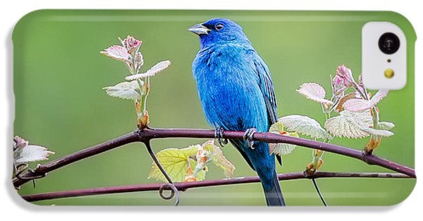 Indigo Bunting Perched IPhone 5c Case by Bill Wakeley