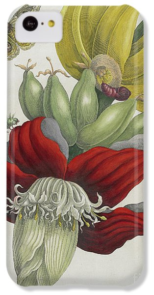 Inflorescence Of Banana, 1705 IPhone 5c Case by Maria Sibylla Graff Merian