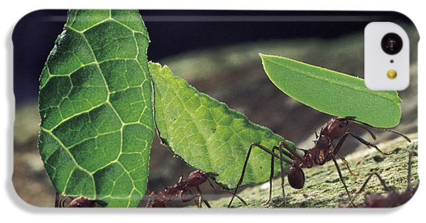 Leafcutter Ant Atta Cephalotes Workers IPhone 5c Case by Mark Moffett