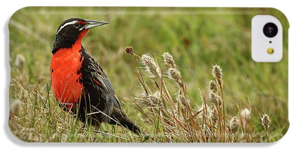 Long-tailed Meadowlark IPhone 5c Case by Bruce J Robinson
