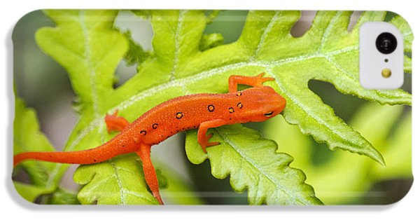Red Eft Eastern Newt IPhone 5c Case by Christina Rollo