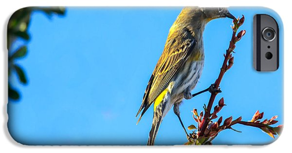 Haybale iPhone Cases -  Yellow-rumped Warbler iPhone Case by Robert Bales