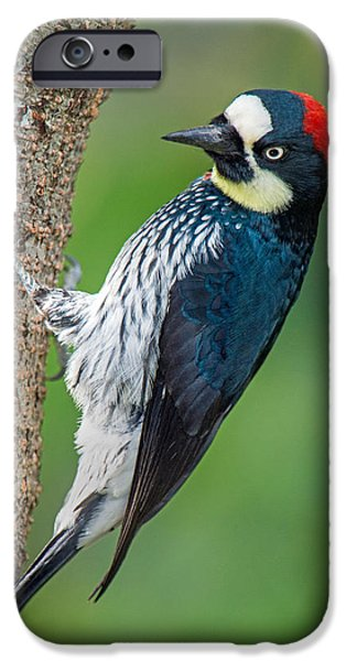 Birds iPhone Cases - Acorn Woodpecker Melanerpes iPhone Case by Panoramic Images