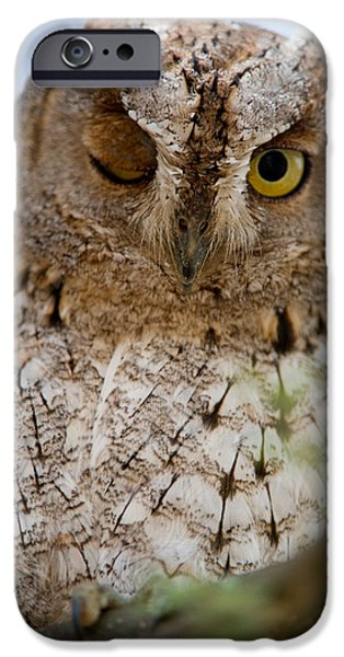 Tarangire iPhone Cases - African Scops Owl Otus Senegalensis iPhone Case by Panoramic Images