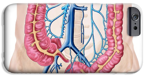 Sigmoid Colon iPhone Cases - Anatomy Of Human Abdominal Vein System iPhone Case by Stocktrek Images