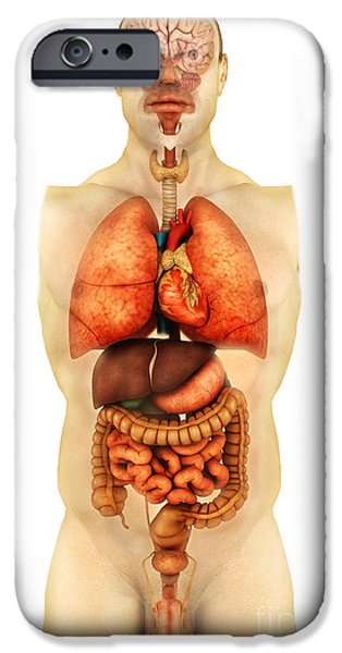 Large Intestine iPhone Cases - Anatomy Of Human Body Showing Whole iPhone Case by Stocktrek Images