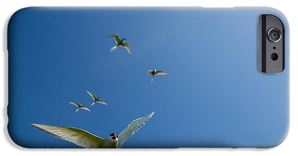 Sea Birds iPhone Cases - Arctic Terns Sterna Paradisaea, Flatey iPhone Case by Panoramic Images