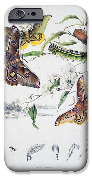 Business Drawings iPhone Cases - Australian Butterflies iPhone Case by Philip Ralley