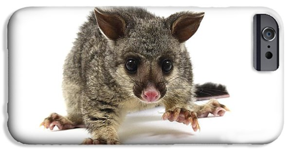 Bushy Tail iPhone Cases - Baby Common Brushtail Possum iPhone Case by Gerry Pearce