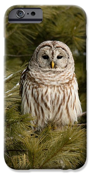 Hooters iPhone Cases - Barred Owl in a Pine Tree. iPhone Case by Michel Soucy