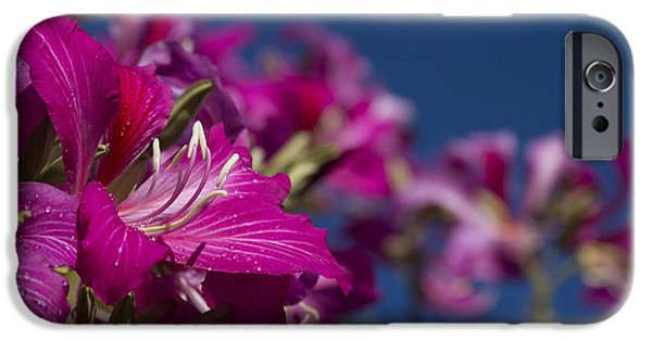 Pinks And Purple Petals iPhone Cases - Bauhinia Purpurea - Hawaiian Orchid Tree iPhone Case by Sharon Mau