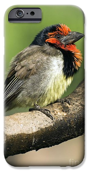 Fauna iPhone Cases - Black-collared Barbet iPhone Case by Peter Chadwick