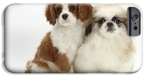 Pekingese iPhone Cases - Blenheim Cavalier King Charles Spaniel iPhone Case by Mark Taylor