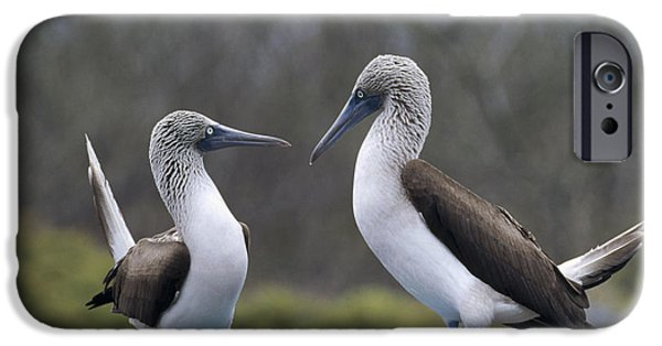 Wildlife Celebration iPhone Cases - Blue-footed Boobies Courting Galapagos iPhone Case by Tui De Roy
