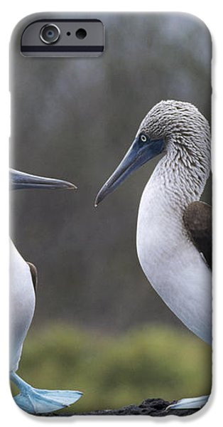 Blue-footed Boobies Courting Galapagos iPhone Case by Tui De Roy