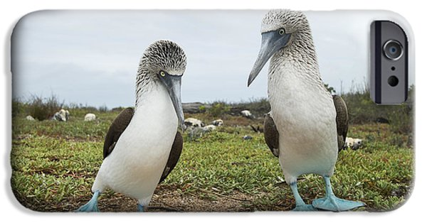 Boobies iPhone Cases - Blue-footed Booby Pair Courting iPhone Case by Tui De Roy