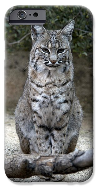 Lynx Rufus iPhone Cases - Bobcat iPhone Case by Mark Newman