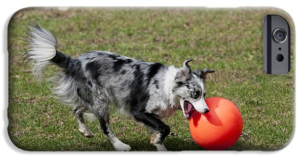 Dog With Ball iPhone Cases - Border Collie Chasing Ball iPhone Case by William H. Mullins