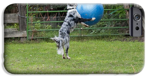 Dog With Ball iPhone Cases - Border Collie Playing Catch iPhone Case by William H. Mullins