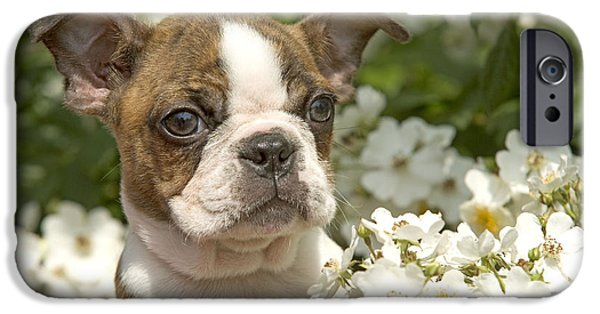 Dog Close-up iPhone Cases - Boston Terrier iPhone Case by Jean-Michel Labat
