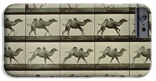 Posters From iPhone Cases - Camel iPhone Case by Eadweard Muybridge