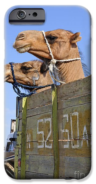 Camel Photographs iPhone Cases - Camels at the Ashgabat Sunday Market in Turkmenistan iPhone Case by Robert Preston