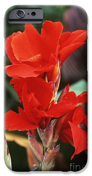 Lucifer iPhone Cases - Canna Lily Lucifer iPhone Case by Adrian Thomas