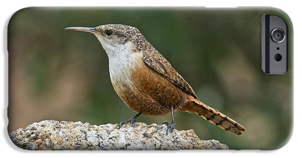Wren iPhone Cases - Canyon Wren iPhone Case by Anthony Mercieca