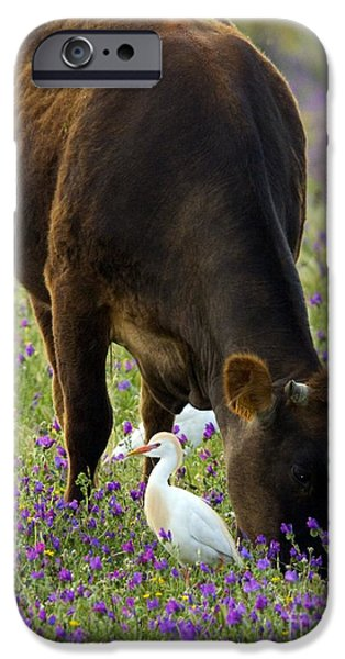 Cattle Egret iPhone Cases - Cattle And Cattle Egrets iPhone Case by Bob Gibbons