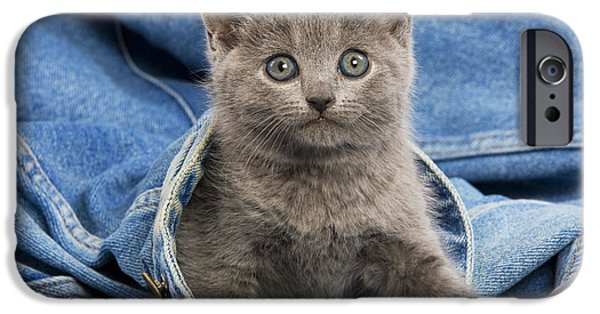 Gray Hair iPhone Cases - Chartreux Kitten iPhone Case by Jean-Michel Labat