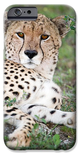 Fauna iPhone Cases - Cheetah Acinonyx Jubatus Resting iPhone Case by Panoramic Images
