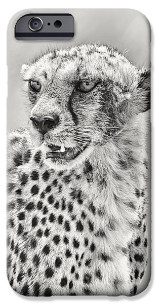 Nature Study iPhone Cases - Cheetah iPhone Case by Adam Romanowicz