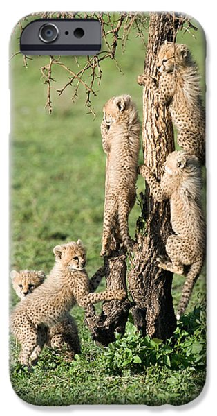 Fauna iPhone Cases - Cheetah Cubs Acinonyx Jubatus Climbing iPhone Case by Panoramic Images