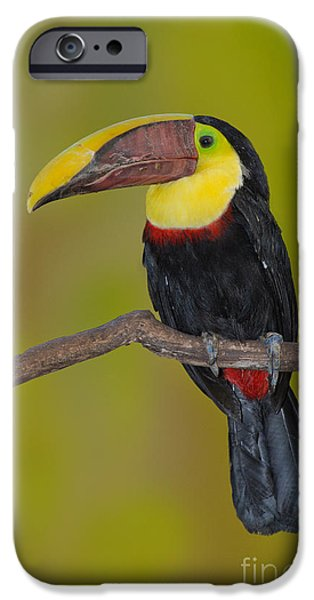 Toucan iPhone Cases - Chestnut-mandibled Toucan iPhone Case by Anthony Mercieca