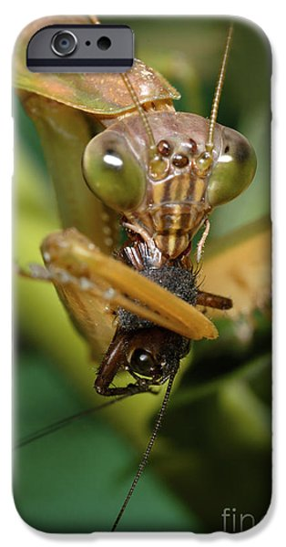 Mantodea iPhone Cases - Chinese Mantid Eating A Cricket iPhone Case by Scott Camazine