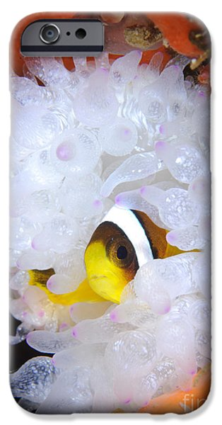 Amphiprion Clarkii iPhone Cases - Clarks Anemonefish In White Anemone iPhone Case by Steve Jones