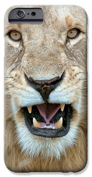 Masai Mara Photographs iPhone Cases - Close-up Of A Lion Panthera Leo iPhone Case by Panoramic Images