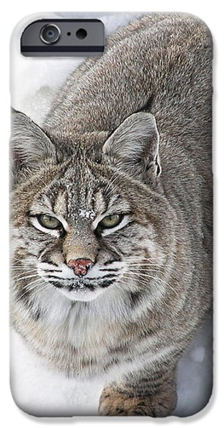 Close-up of Bobcat lynx looking at camera iPhone Case by Sylvie Bouchard